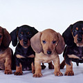 Dachshund Puppies  by Carolyn McKeone and Photo Researchers