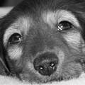 Dachshund Puppy by Miriam Lillevand
