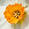Daffodil Narcissus Flower by Iris Richardson