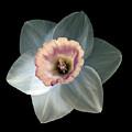 Daffodil 2 by Tony Cordoza