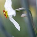 Daffodil 3 by Tony Cordoza