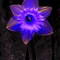 Daffodil 4 by Tim Allen