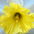 Daffodil by Amy Fose