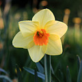 Daffodil At Sunset by Pierre Leclerc Photography