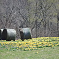 Daffodil Bales by Cathy Christian