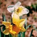 Daffodil by Brianna A