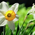 Daffodil by David Arment
