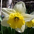 Daffodil Days by Annie Babineau