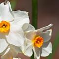 Daffodil Dazzle by Maria Urso