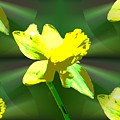 Daffodil Delight by Tim Allen