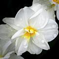 Daffodil Diagonal by Emma England