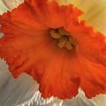 Daffodil Down by Joseph Yarbrough