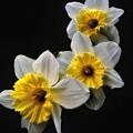 Daffodil Dream by James DeFazio