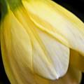 Daffodil Droop by Daniel G Walczyk