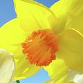 Daffodil Flowers Artwork 18 Spring Daffodils Art Prints Floral Artwork by Baslee Troutman