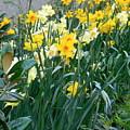 Daffodil Garden by Maro Kentros