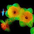 Daffodil Glow by Susan Schneider