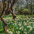 Daffodil Hill Gardens by Dianne Phelps
