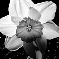 Daffodil In Springtime by Michelle Calkins