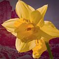 Daffodil Minnard #f9 by Leif Sohlman