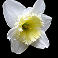 Daffodil On Black by J M Farris Photography
