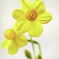 Daffodil Strong by Garden Gate magazine