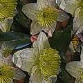 Daffodil Study by Tim Allen