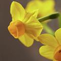 Daffodil Sunrise by Garden Gate magazine