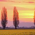 Daffodil Sunrise by Idaho Scenic Images Linda Lantzy