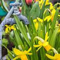 Daffodils 2 by Marcin Rogozinski