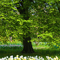 Daffodils And Narcissus Under Tree by Philip Enticknap