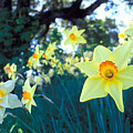 Daffodils And The Oak 2 by Kathy Yates