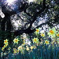Daffodils And The Oak by Kathy Yates