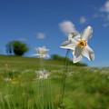 Daffodils Blossimg At Cavalla Plains 2017 I - Fioritura Dei Narcisi Al Pian Della Cavalla 2017 by Enrico Pelos