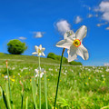 Daffodils Blossimg At Cavalla Plains 2017 II - Fioritura Dei Narcisi Al Pian Della Cavalla 2017 by Enrico Pelos