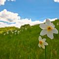 Daffodils Blossimg At Cavalla Plains 2017 Iv - Fioritura Dei Narcisi Al Pian Della Cavalla 2017 by Enrico Pelos