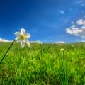 Daffodils Blossimg At Cavalla Plains 2017 Vi - Fioritura Dei Narcisi Al Pian Della Cavalla 2017 by Enrico Pelos