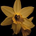Daffodils  by Danielle Silveira