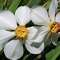 Daffodils by David Freuthal