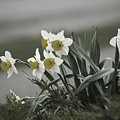 Daffodils Desaturated by Elaine Mikkelstrup