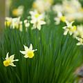 Daffodils In A Bunch by Rachel Morrison