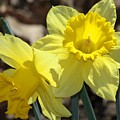 Daffodils In Spring by Sheila Brown
