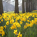 Daffodils In St James Park London by Julia Gavin