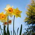 Daffodils In The Sky by David Head