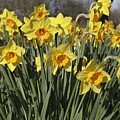 Daffodils by Kevin Round