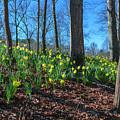 Daffodils On Hillside by Keith Smith