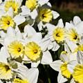 Daffodils by Svetlana Sewell