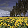 Daffodils by Tim Hauf
