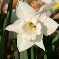 Dafodil211 by Gary Gingrich Galleries