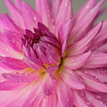 Dahlia After The Rain by Mary Jo Allen